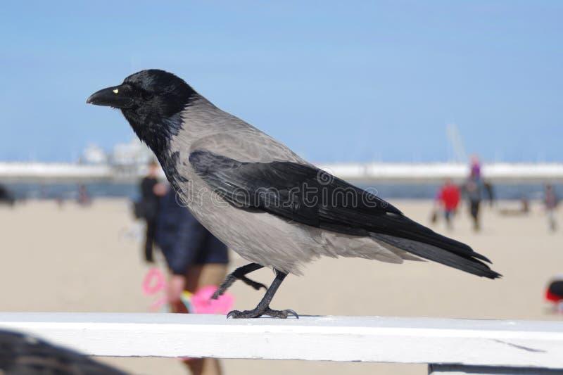 在海滩的乌鸦 免版税库存照片