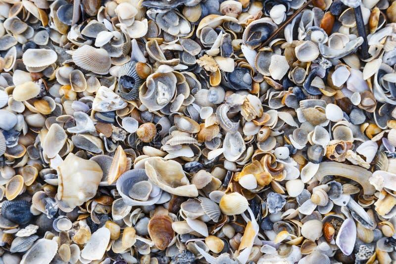 在海滩的五颜六色的贝壳在佛罗里达 免版税库存图片