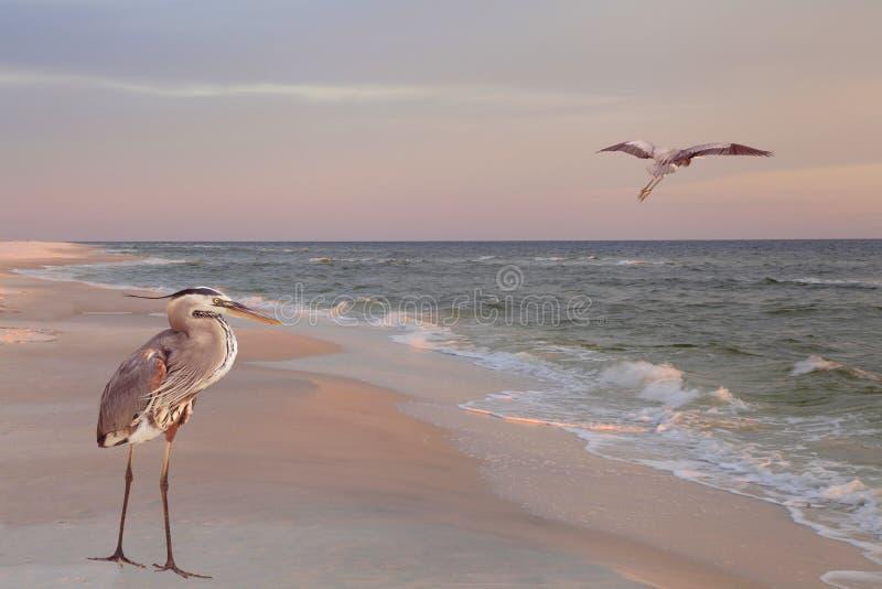 在海滩的伟大蓝色的苍鹭的巢在日出 库存照片