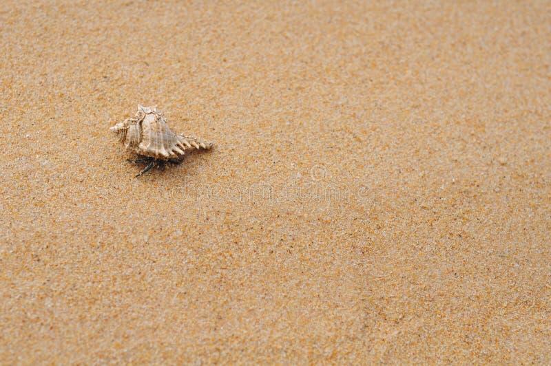 在海滩的偏僻的隐士crabl 免版税库存图片
