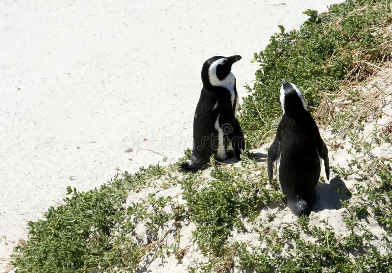 在海滩的南非企鹅 免版税库存图片