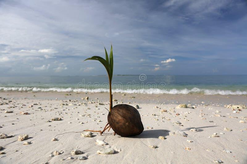 在海滩的发芽的椰树坚果 图库摄影
