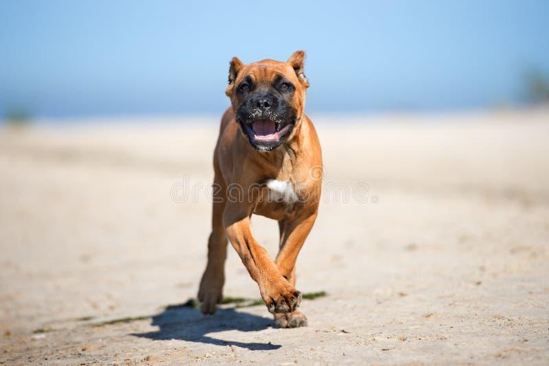 在海滩的可爱的红色藤茎corso小狗 免版税图库摄影