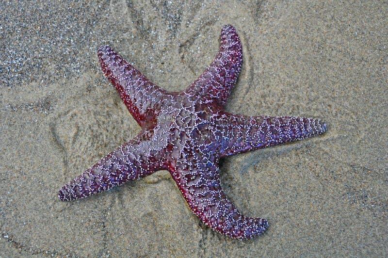 在海滩的唯一海星 库存图片