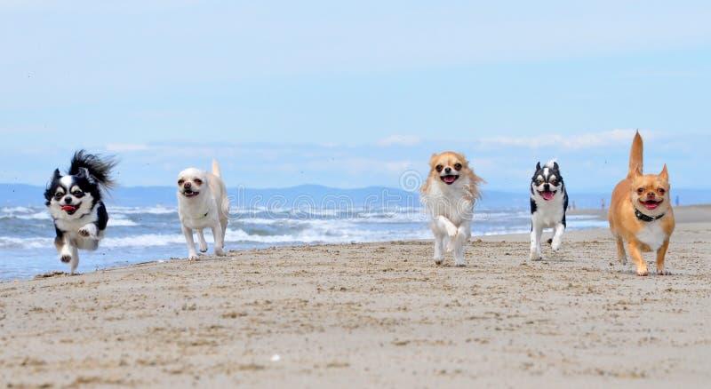 在海滩的奇瓦瓦狗 免版税库存图片