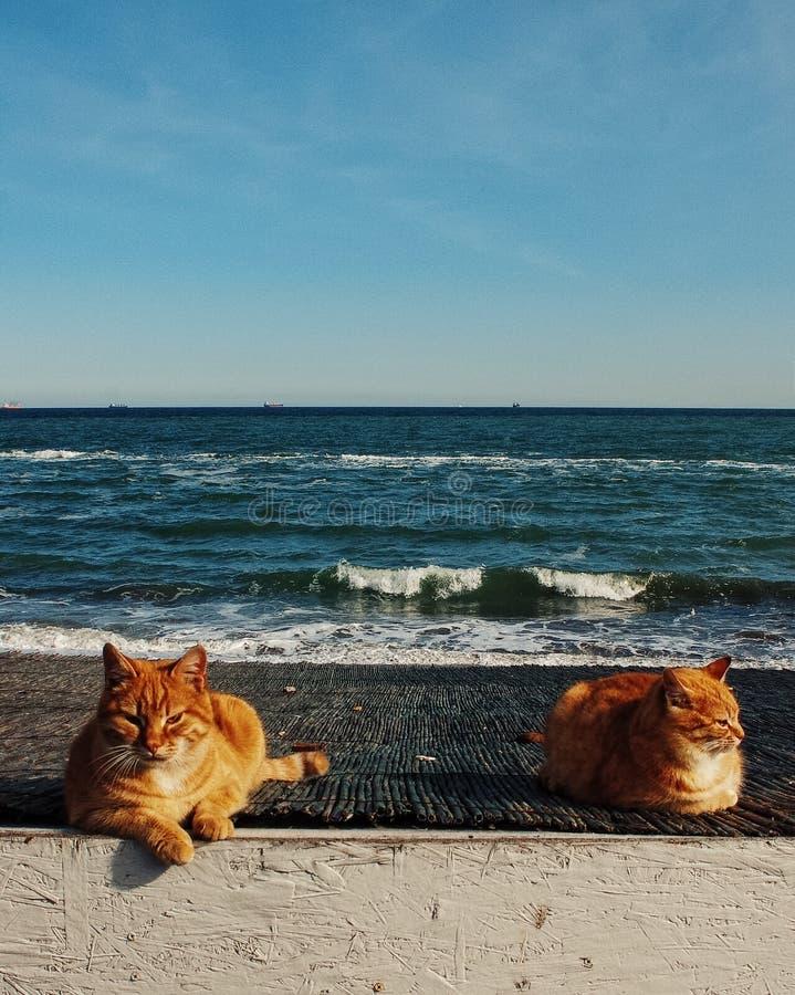 在海滩的姜猫在傲德萨 免版税库存图片