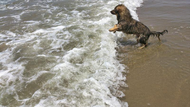 在海滩的小狗 免版税图库摄影