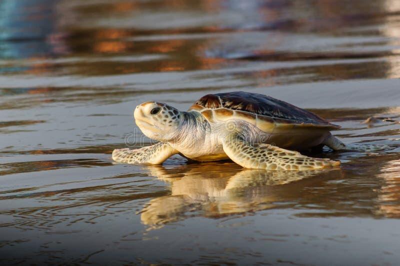 在海滩的幼小绿浪乌龟 库存照片