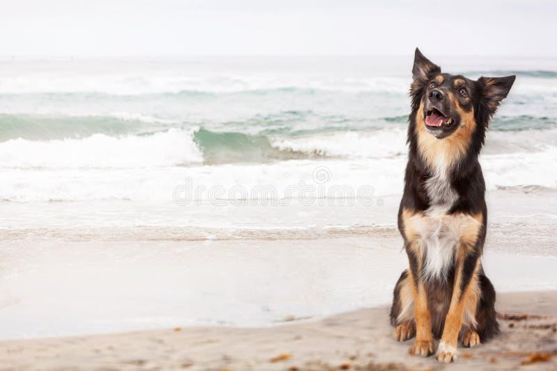 在海滩的愉快的牧羊人杂种狗 库存照片