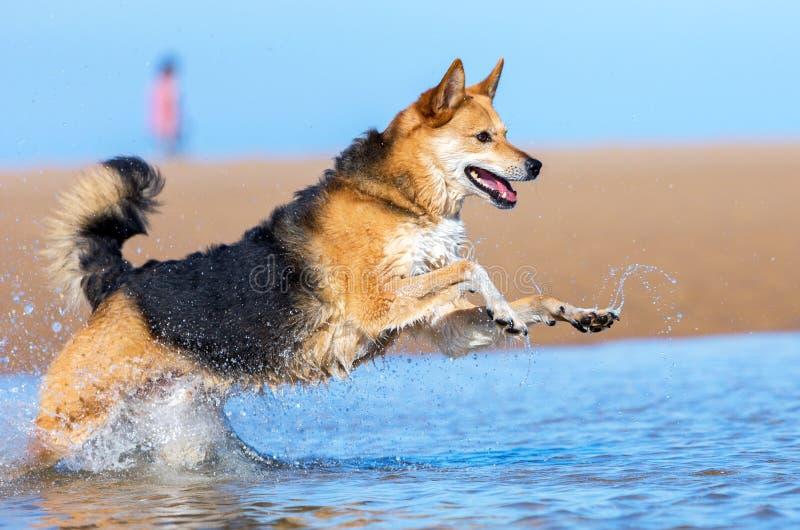 在海滩的愉快的狗 库存图片