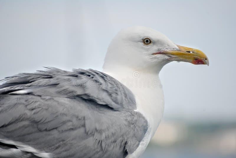 在海滩的接近的海鸥 免版税库存图片