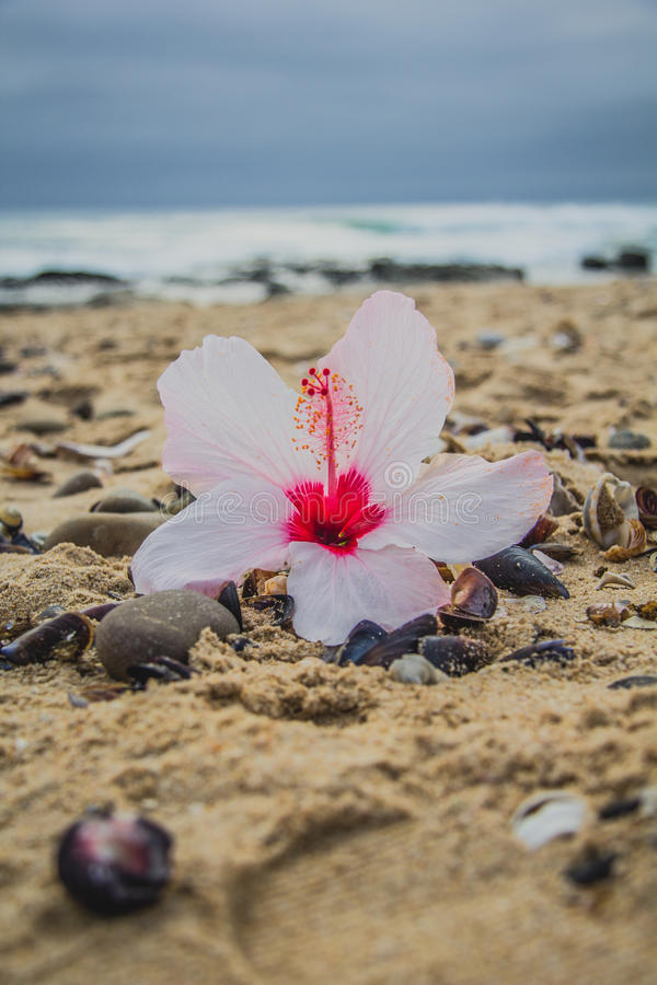 在海滩的木槿花 库存图片