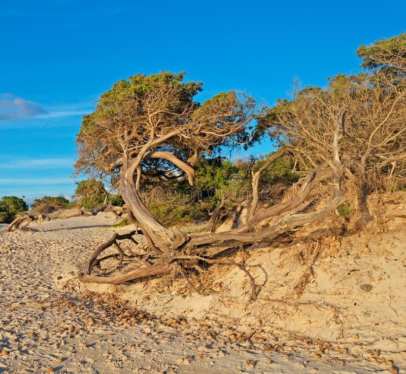 在海滩的杉木 免版税库存照片