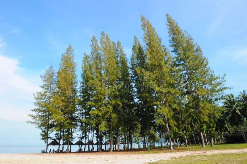 在海滩的杉树 免版税图库摄影