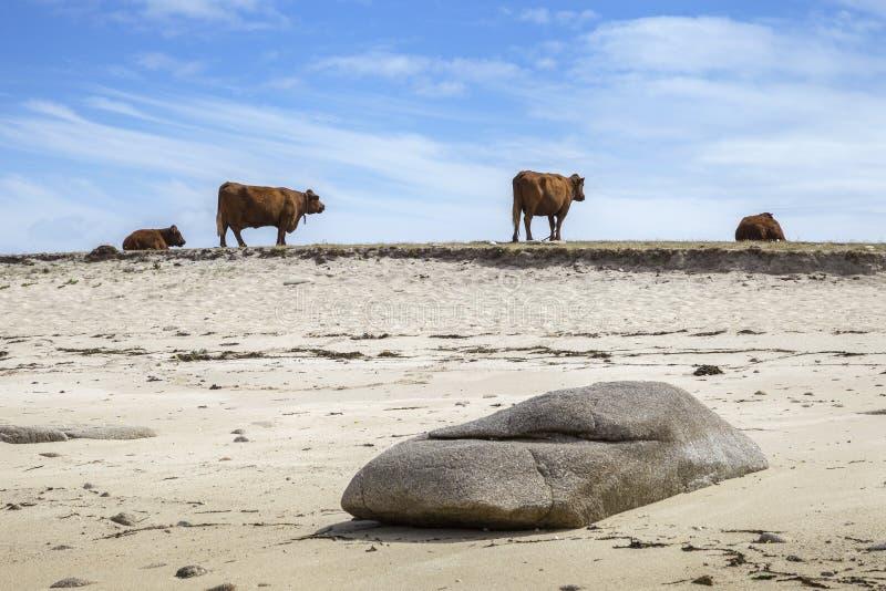 在海滩的母牛,圣艾格尼丝,锡利群岛,英国 库存图片