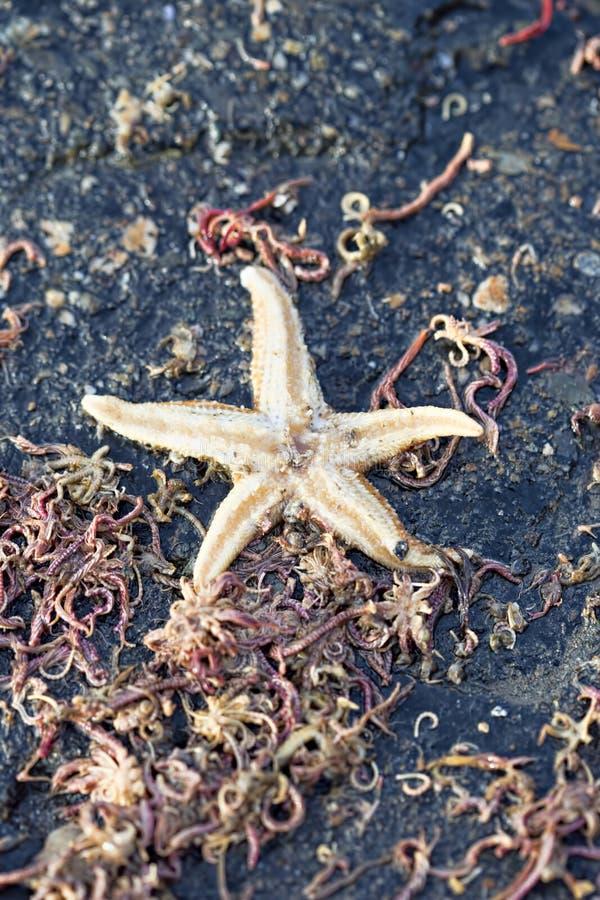 在海滩的海星 免版税库存图片