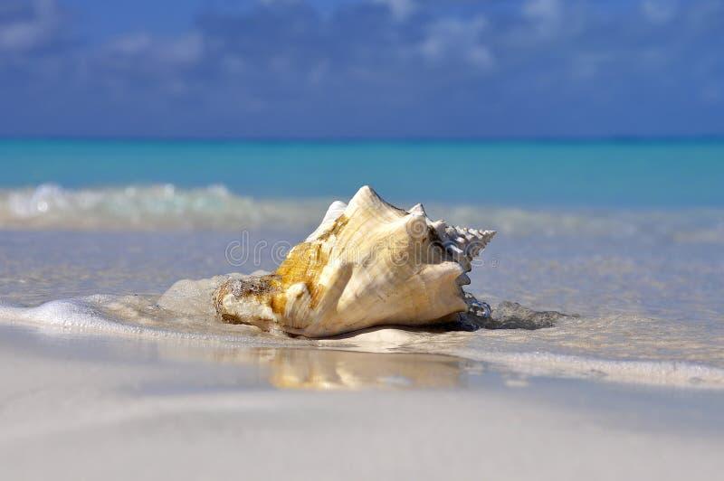 在海滩的海运壳 库存图片