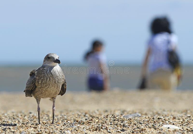 在海滩的海鸥与游人 免版税库存图片