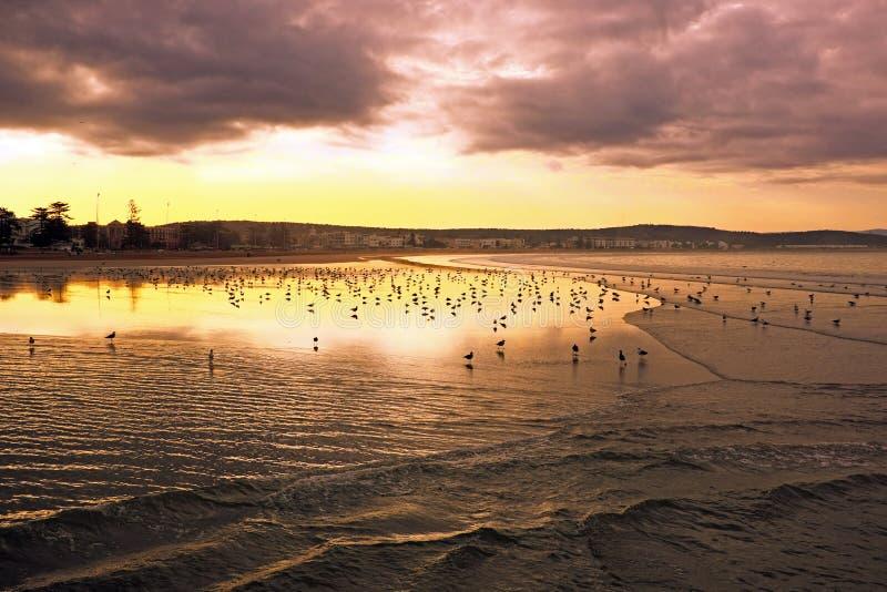 在海滩的海鸥在索维拉在摩洛哥非洲 库存图片
