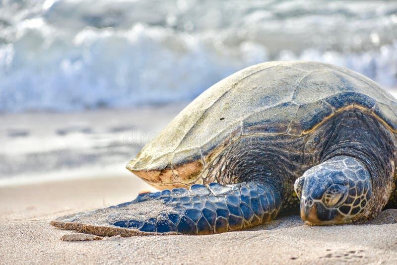 在海滩的海龟 免版税库存图片