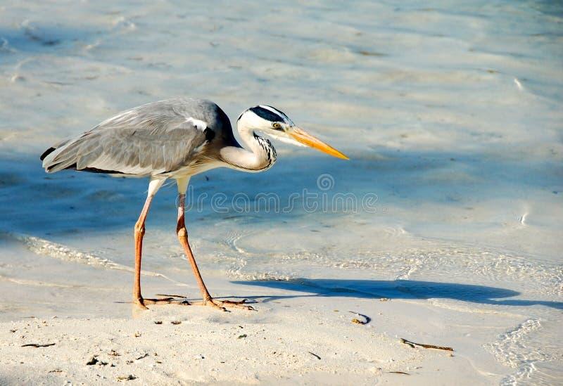在海滩的灰色苍鹭在马尔代夫 免版税库存照片