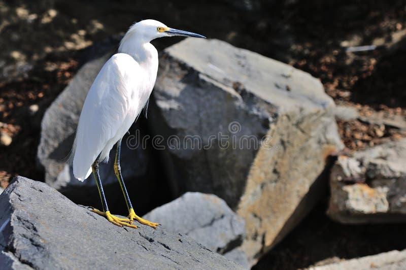 在海滩的白色白鹭在加利福尼亚 免版税图库摄影
