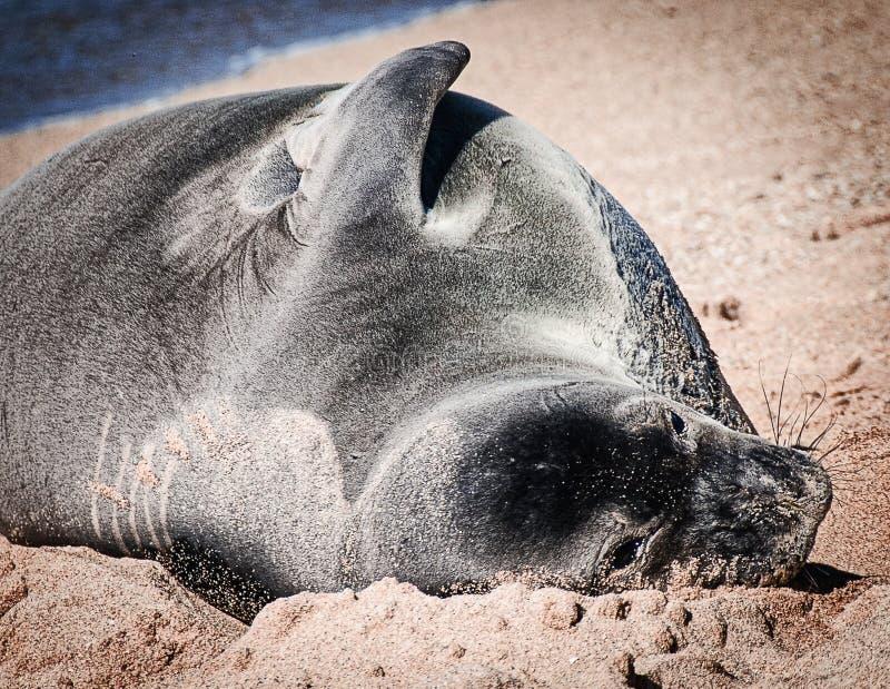 在海滩的罕见的夏威夷修士封印 免版税库存图片