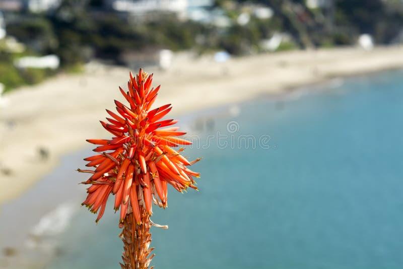 在海洋的芦荟植物 库存图片