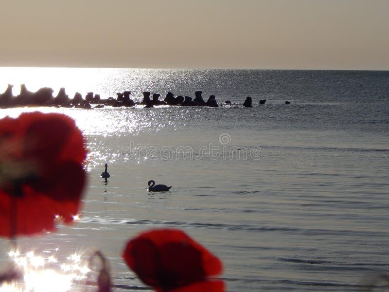 在海滩的花鸦片 库存图片