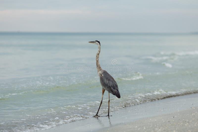 在海洋的苍鹭 免版税库存照片