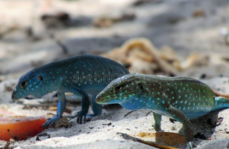 在海滩的蓝色蜥蜴 免版税图库摄影