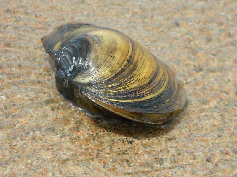 在海滩的蛤蜊壳 库存图片