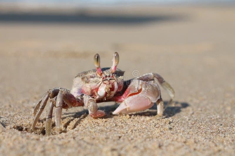 在海滩的螃蟹 图库摄影