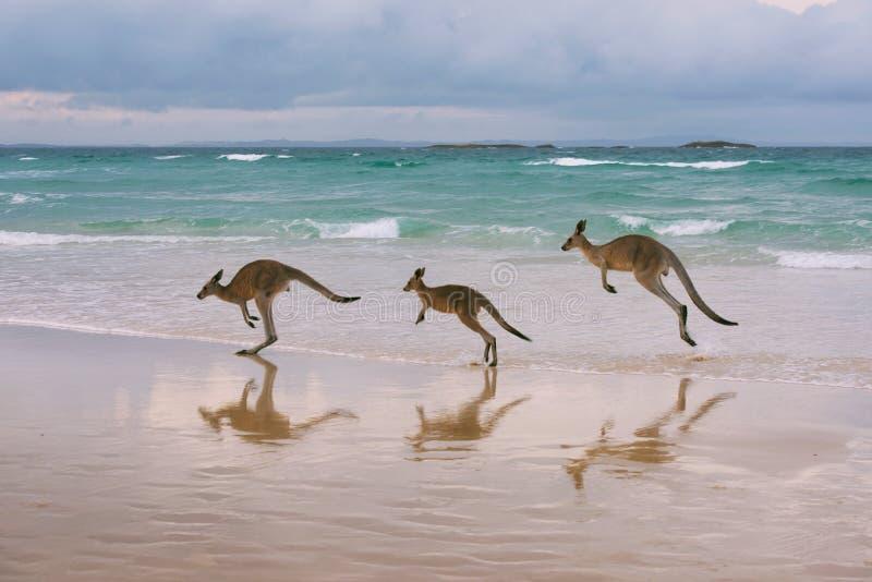 在海滩的袋鼠家庭 免版税库存图片