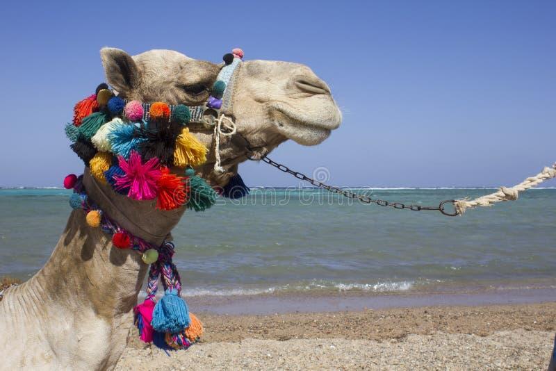 装饰的骆驼面孔在埃及 免版税库存图片