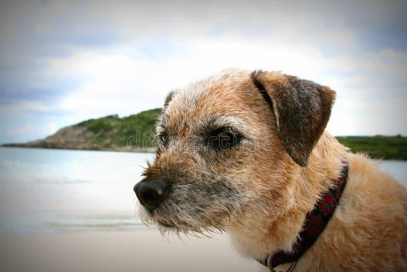 在海滩的边界狗 免版税库存图片