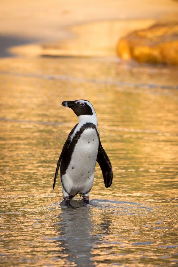 在海滩的非洲企鹅 库存照片