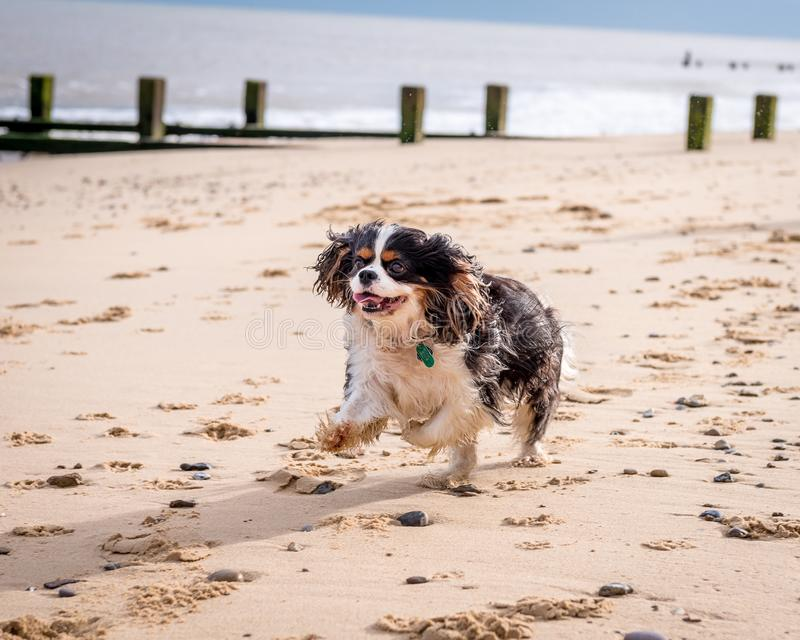 在海滩的骑士国王查尔斯狗 免版税库存照片