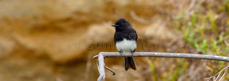 在海滩的鸟在峭壁附近在卡尔斯巴德加利福尼亚 免版税库存照片