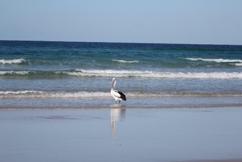 在海滩的鹈鹕渔 库存照片