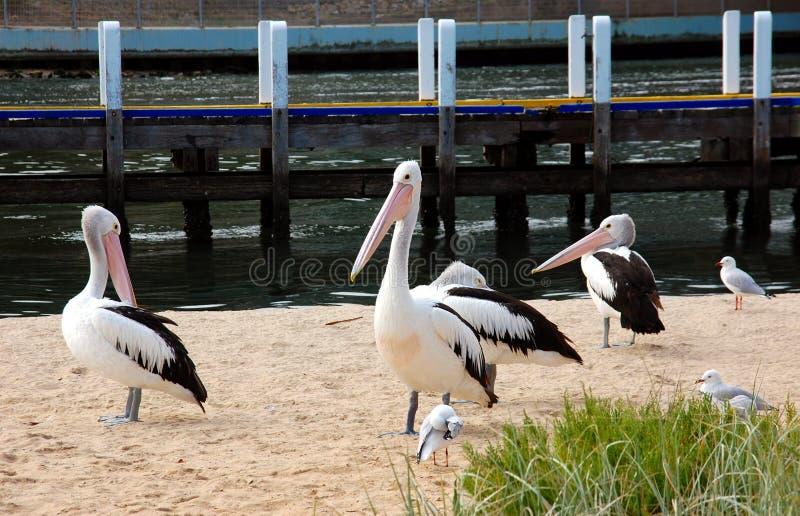 在海滩的鹈鹕,湖入口,澳大利亚 库存图片
