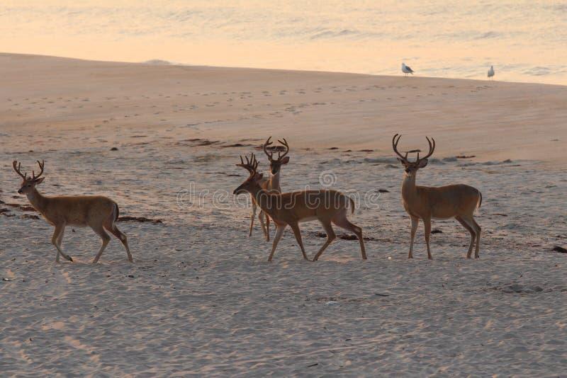 在海滩的鹿 库存图片