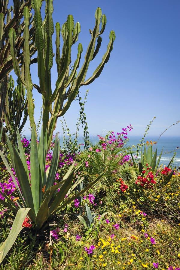在海滩的仙人掌在利马,秘鲁 免版税库存图片