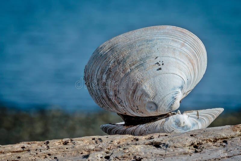 在海滩的贝壳 库存照片