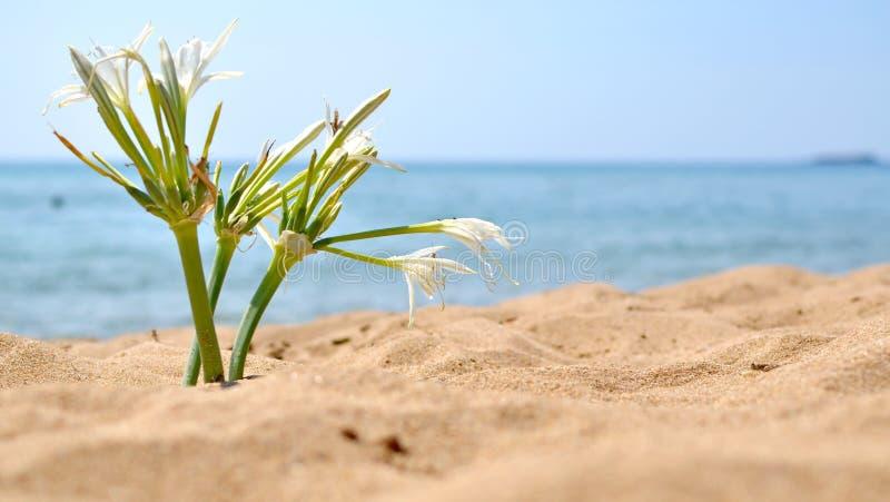 在海滩的绽放 库存照片