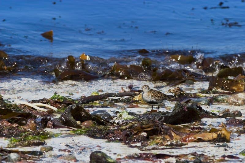 在海滩的滨鹬 库存照片