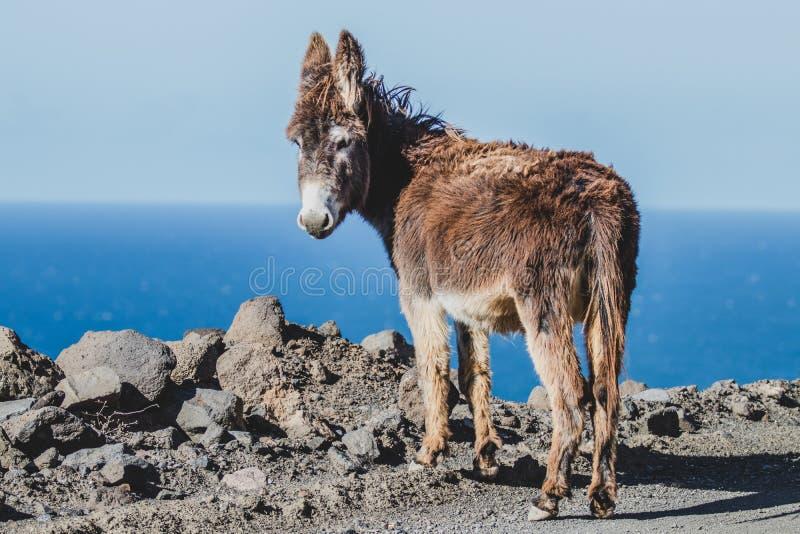 在海滩的驴 免版税库存照片