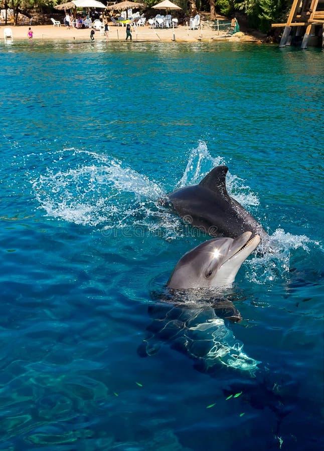 在海滩附近的海豚喜跳 库存图片
