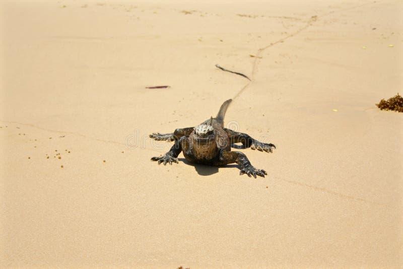 在海滩,加拉帕戈斯群岛,厄瓜多尔的海产鬣蜥蜴 库存照片