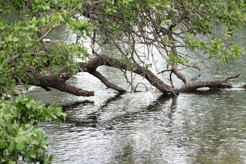 在浸洗入水的池塘的树 库存照片